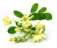Moringa Seed Oil in the Spotlight