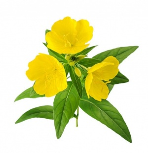 Ingredient Profile Evening Primrose Oil