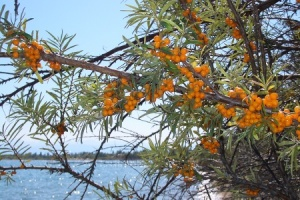 Sea Buckthorn in the Spotlight